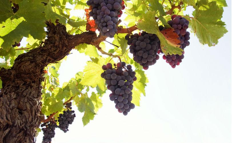 Виноград с лучших участков