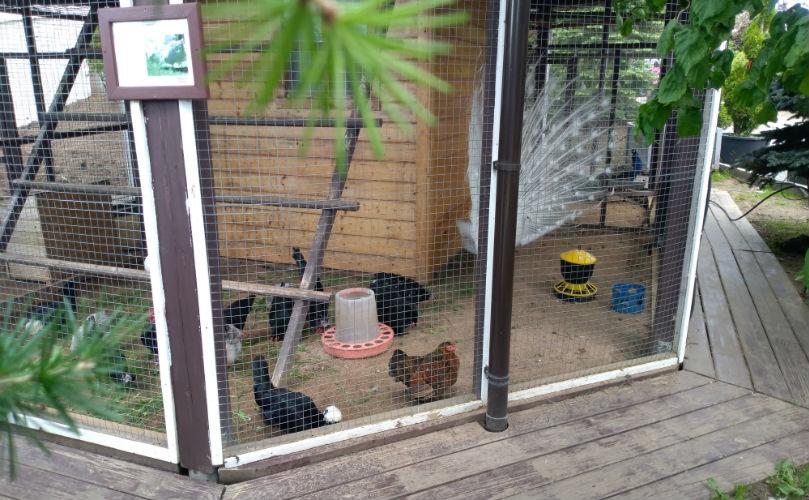 Декоративные курочки в зоопарке Империал Гарден